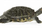Все что нужно знать о содержании красноухой черепахи в домашних условиях