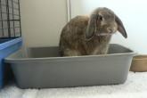 5 практических советов о том, как приучить кролика к туалету